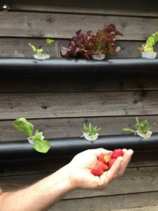 Strawberry from Aquaponic system