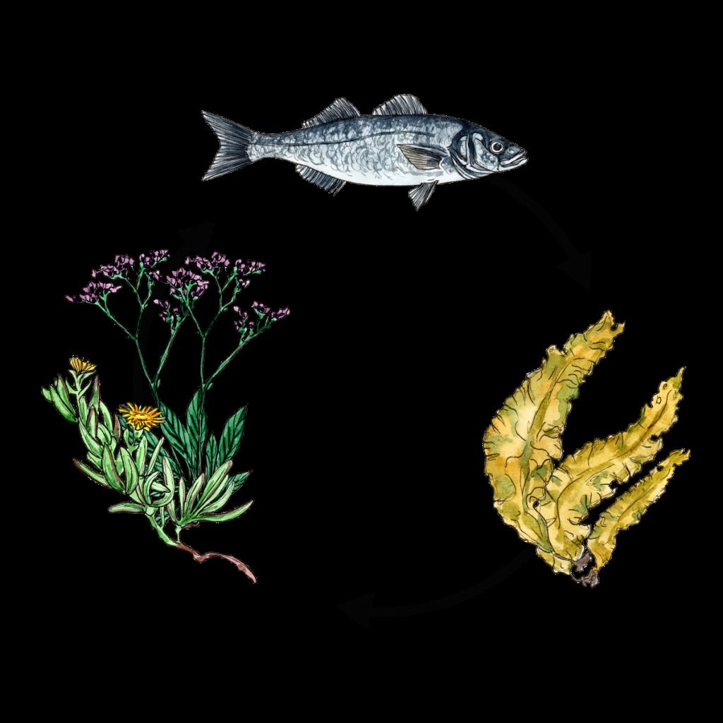 Cyclus met zeebaars, suikerwier, ijskruid en lamsoor